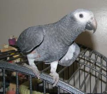 African Grey - Hand tame and talking!!