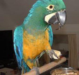 جميلة الببغاوات الزرقاء / الذهب