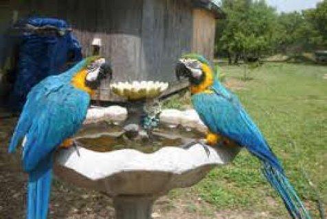 الزوج تربية الببغاوات الزرقاء والذهب