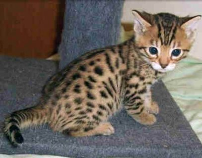 Lovely Serval and F1 Savannah kittens for sale
