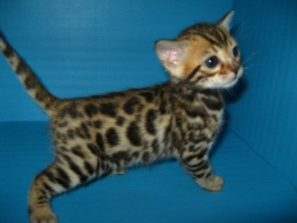 Best couples Serval and F1 Savannah kittens for sale