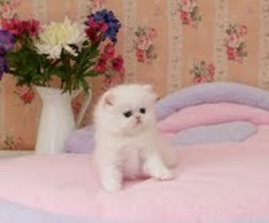 cute persian kittens for rehoming1