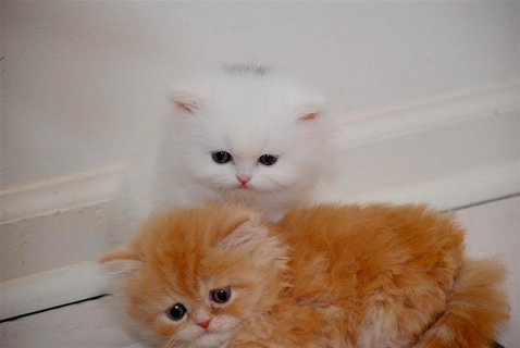 Gorgeous & Charming Pure Breed Persian Kittens4