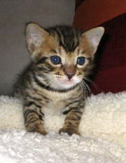 Lovely Bengal kitten for adoption555