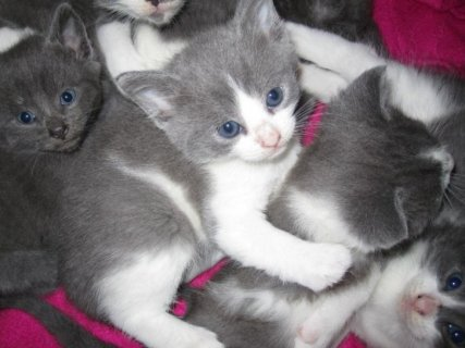 British shortharir kittens for adoption44