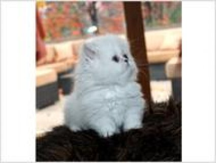 2 Beautiful Blue Point Baby Boy and Girl Himalayan Persian5444