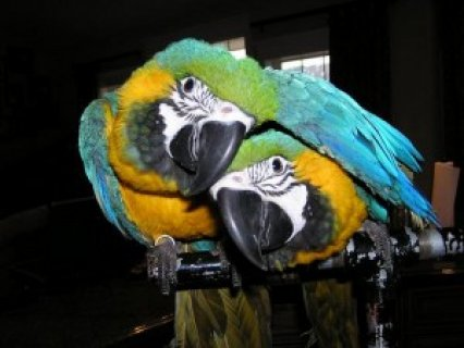 Blue and Gold Macaw Parrots are excellent talkers.5444