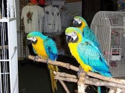 BLUE AND GOLD MACAW PARROTSrtt