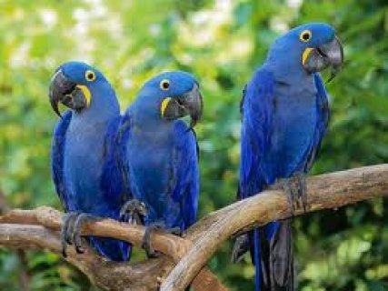 BEAUTIFUL PAIR HYACINTH MACAW PARROTS533r