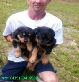 Two Beautiful Rottweiler Puppies