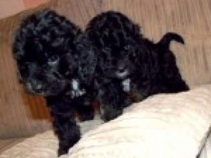 Lovely Toy Cockapoo Puppies