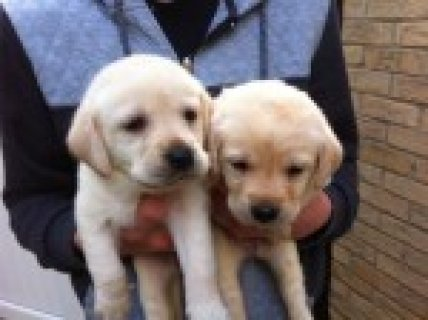 Healthy Litter Of Yellow Labs