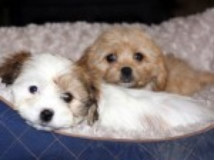 Stunning Little Cavachon Puppies