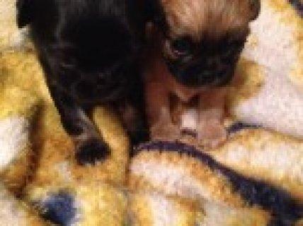 Half Pekingnese Half Chihuahua