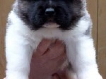 Kc Registered Akita Puppies