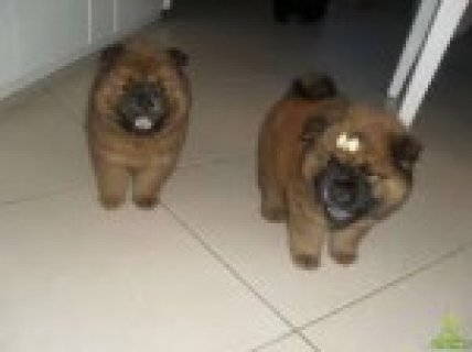boy and girl  Chow Chow Pup For Sale*