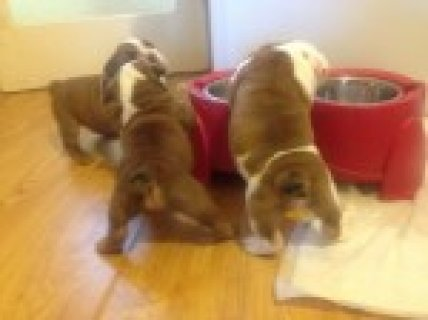 Kc Registered Show Bulldog Puppies,ready Now
