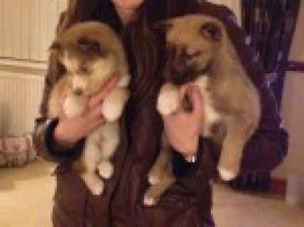 Siberian Husky Pupps