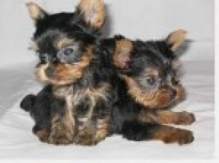 Very Small Yorkies
