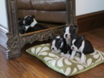 ***** Boston Terrier Puppies *****