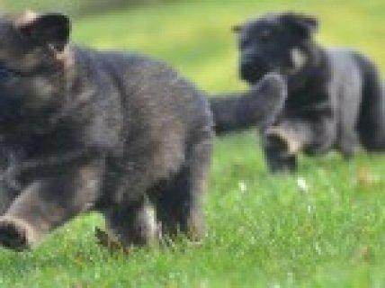 German Shepherd Kc Registered