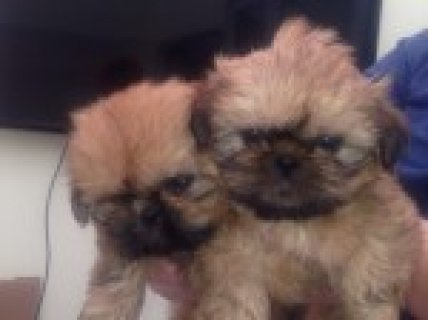 صور Beautiful Shih Tzu Puppys 1