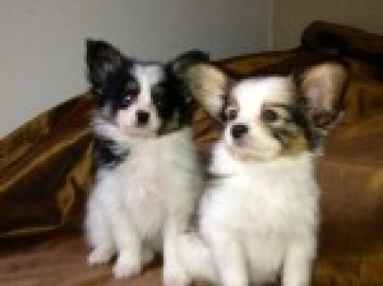 Papillon Puppies! Ready Now!! Reduced!