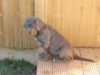 100% Pure Top Blood Line Blue Neapolitan Mastiff