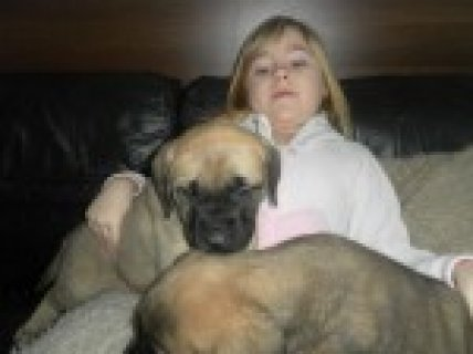 English Mastiff Puppys For Sale