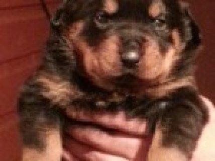Rottweiler Pups Kc Reg. Champion Bloodline.