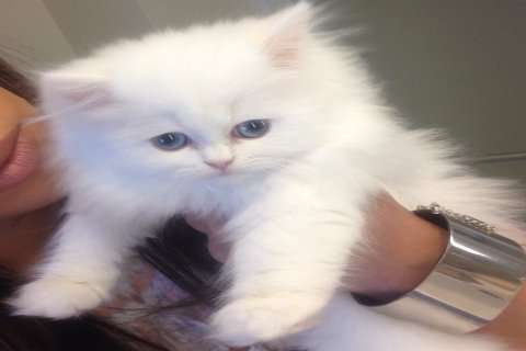 Adorable Teacup Persian Kittens for Rehoming.2