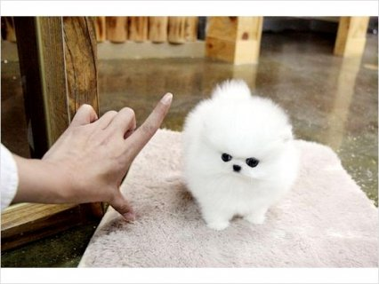 Teacup size Pomeranian puppies available1