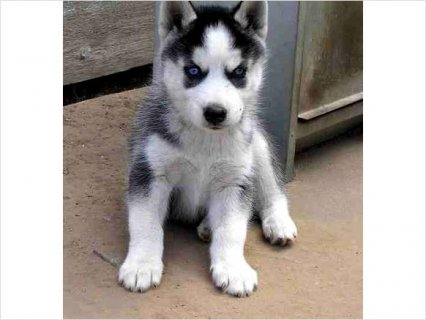 Siberian Husky puppies 111