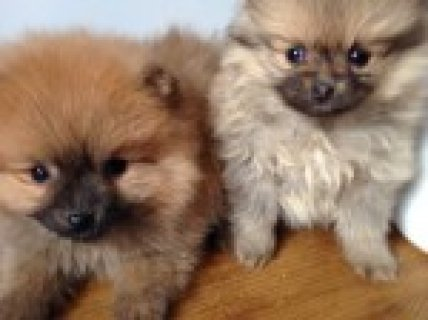 Tiny Baby Teacup Pomeranian puppies