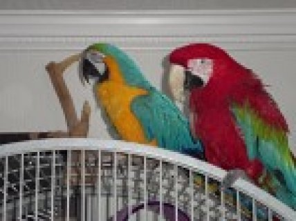 Macaws For Sale