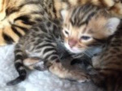 صور Champion Sired Pedigree Bengal Kittens 1