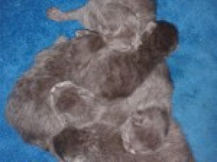 Stunning Blue Pedigree British Shorthaired Kittens