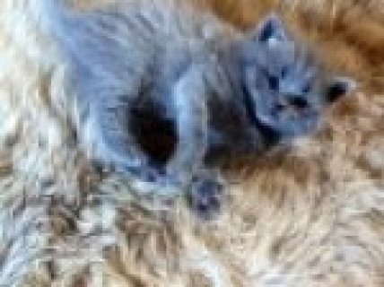 for Sale British Blue Shorthair Kittens