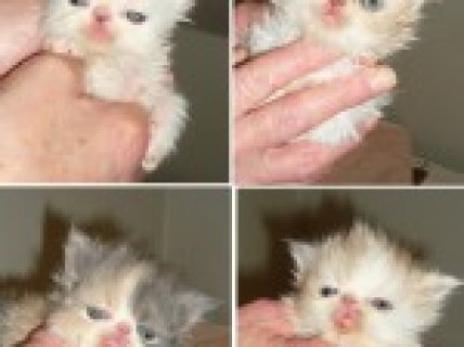 4 Pedigree Persian Kittens 1 Boy And 3 Girls