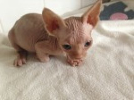 صور Lovely Bold male and  Female Sphynx Kitten 1