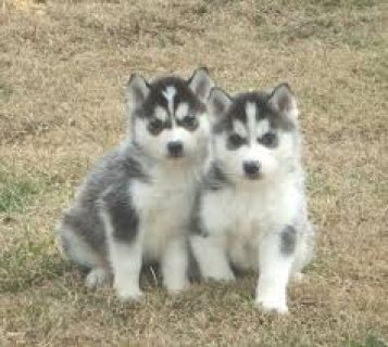 2 Siberian Husky Puppies with Blue Eyes