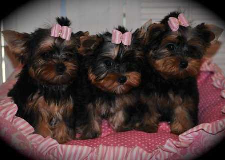 2 Adorable AKC Yorkie Puppies for sale