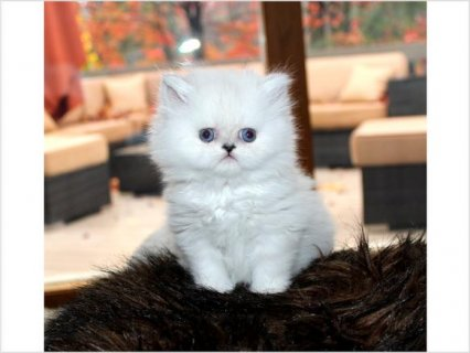 2 Beautiful Blue Point Baby Boy Himalayan Persian Kitten - Call: