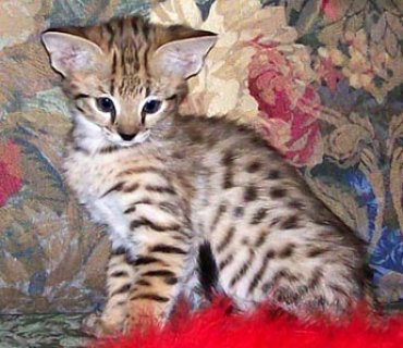 2 f4 Savannah kittens for a new home