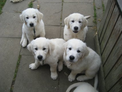 صور Nice golden retreiverPuppies for good and caring homes 1