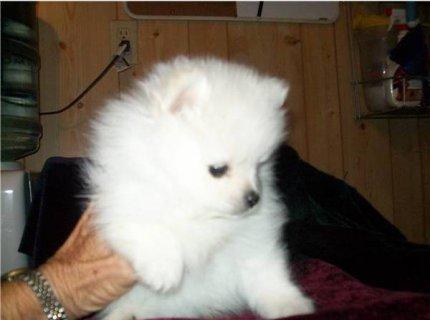 Tiny Teacup Pomeranian Puppies44