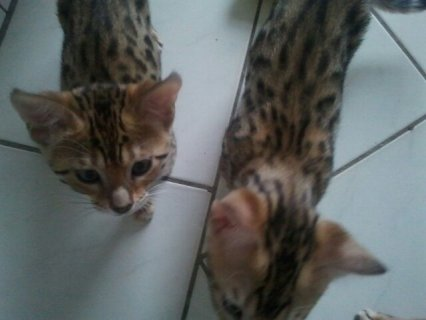 Bengal Kittens - Tica Registered - Health Guaranteed