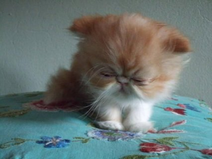 RED WHITE VAN SHORT HAIR PERSIAN SHOW KITTEN1