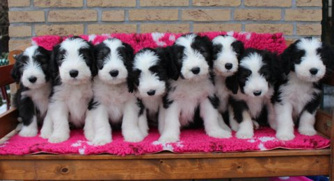 charming male and female border collie raedy to go now