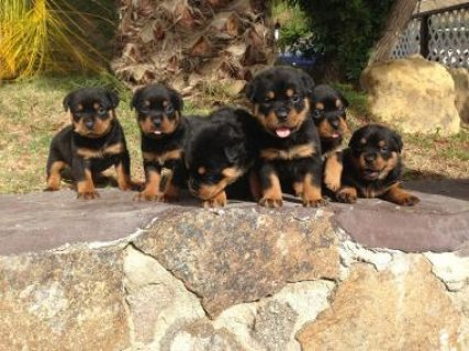 AKC Registered Rottweiler puppies for sale
